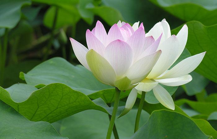 Tranh hoa sen màu trắng