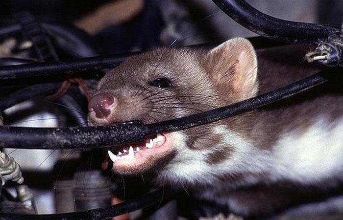 Chuột cán phá máy decal thì làm thế nào ?